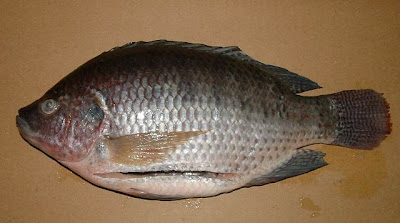 Size-of-a-Tilapia